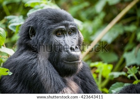 Close up Portrait of a mountain gorilla (Gorilla beringei beringei)  at a short distance in natural habitat. Green natural background. Bwindi Impenetrable Forest National Park. Uganda. Africa - stock photo