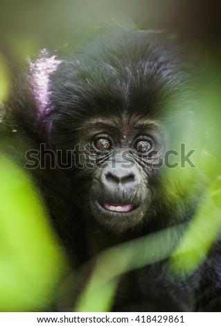 Close up Portrait of a mountain gorillacub at a short distance. The mountain gorilla (Gorilla beringei beringei) . Bwindi Impenetrable Forest National Park. Uganda. Africa - stock photo