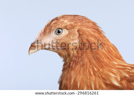 close-up portrait of a pair of hens red color on a white background studio - stock photo