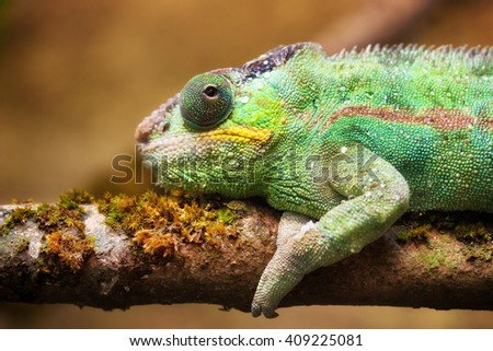 Close-up portrait of a panther chameleon (Furcifer pardalis). - stock photo
