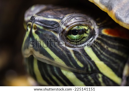 close up portrait of a pet turtle with a shallow depth of field
