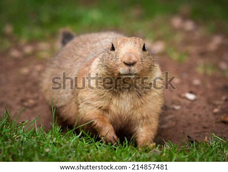 Close Up Portrait of a Prairie Dog - stock photo