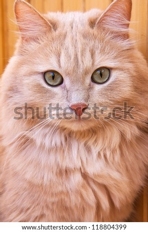 Close up portrait of a red cat - stock photo