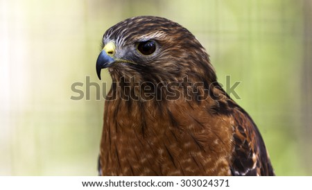 close up portrait of a red tailed hawk