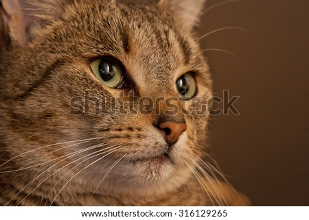 Close-up portrait of a shorthaired brown tabby cat - slight sepia tone. - stock photo