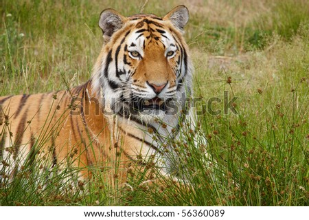 Close-up portrait of a Siberian Tiger laying in a field of tall grass