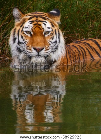 Close-up portrait of a Siberian Tiger standing in the water - stock photo
