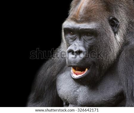 close-up portrait of a silver back gorilla - stock photo