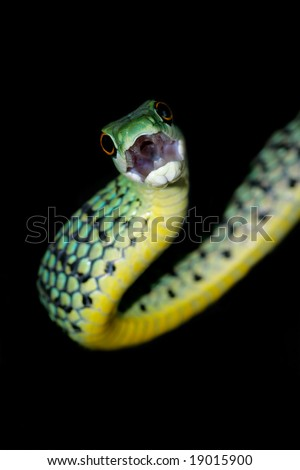 Close-up portrait of a spotted bush snake (Philothamnus semivariegatus), South Africa