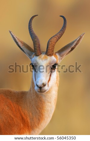 Close-up portrait of a Springbok in early morning light; Antidorcas Marsupialis - stock photo
