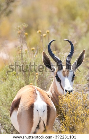 Close up portrait of a Springbok / Springbuck in a nature reserve in South Africa. Springbuck is the national animal of South Africa - stock photo