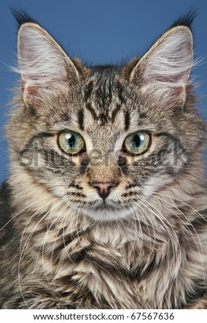 Close-up portrait of a striped cat on a blue background - stock photo