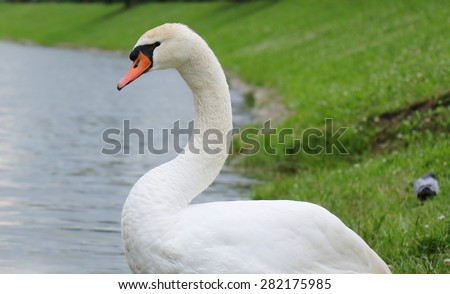 Close up portrait of a Swan - stock photo