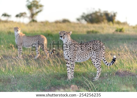Close-up portrait of a  two cheetahs on a background of savanna - stock photo