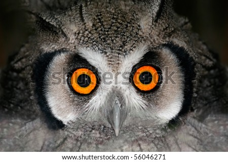Close-up portrait of a white-faced owl (Otis leucotis) with large orange eyes, South Africa - stock photo