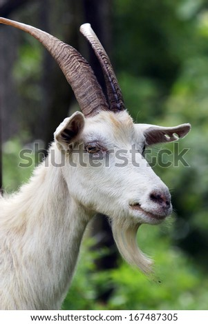 close-up portrait of a white goat with big horns and a beard on the background of green foliage - stock photo