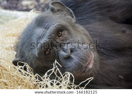 Close-up portrait of a young Chimpanzee - stock photo