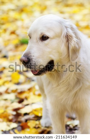 Close up portrait of adult golden labrador retriever in autumn park  - stock photo