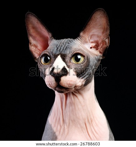 Close-up portrait of adult hairless Don Sphinx on black background - stock photo