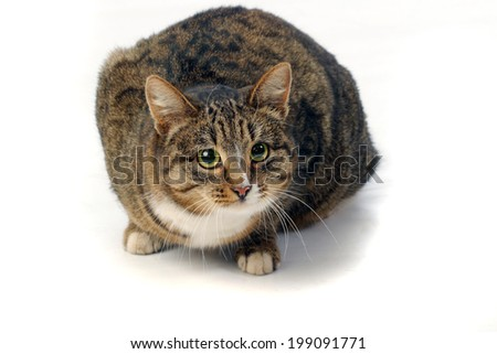 close-up portrait of adult tabby cat with expressive green eyes studio - stock photo