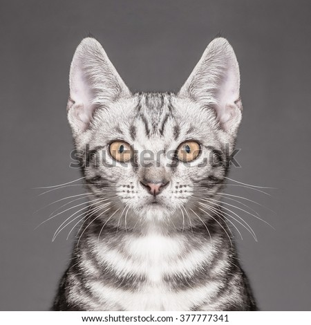 Close-up portrait of american shorthair cat - stock photo