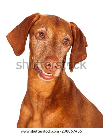 Close-up portrait of an adult Vizsla dog looking down and to the side - stock photo