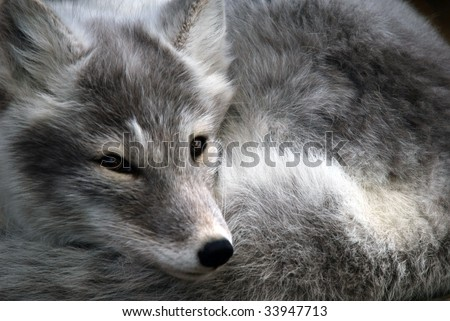 Close-up portrait of an Arctic Fox while he is sleeping - stock photo