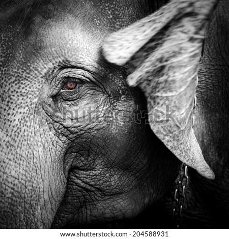 Close-up portrait of an elephant - stock photo