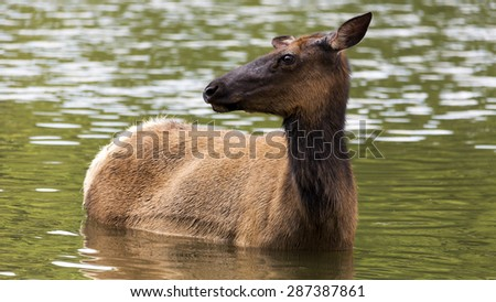 close up portrait of an elk doe wading in a lake