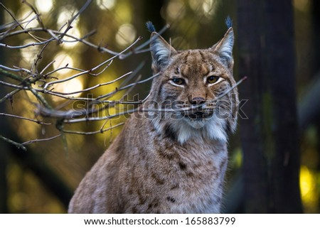 Close-up portrait of an Eurasian Lynx in forest (Lynx lynx) - stock photo