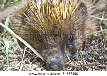 Close-up portrait of an european hedgehog - stock photo
