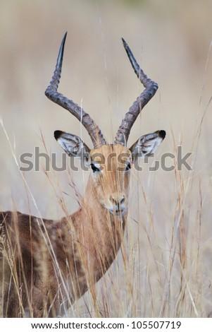 Close up portrait of an impala ram - stock photo