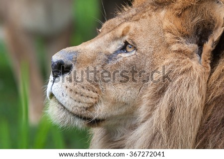 Close-up portrait of an old scarred lion - stock photo