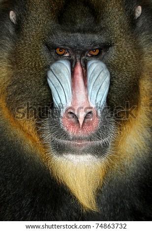Close up portrait of baboon monkey - stock photo