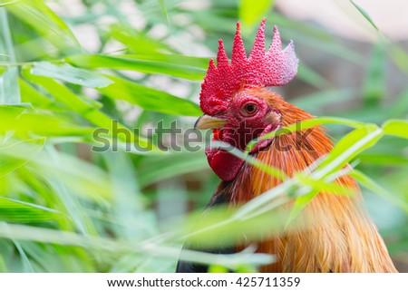 close up portrait of bantam chicken, poultry - stock photo