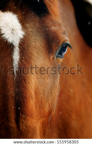 Close-up portrait of bay horse in winter - stock photo