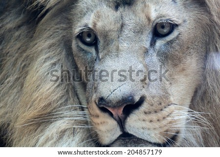 Close up portrait of beautiful african male lion - stock photo