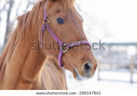 Close Up Portrait Of Beautiful American Quarter Horse.  American Quarter horse with pink briddle in winter posing for the camera outside.  - stock photo