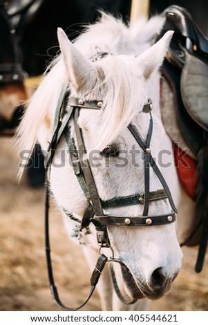 Close Up Portrait Of Beautiful White Horse. Close Up Head - stock photo