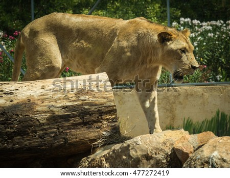 Close-up portrait of big lioness resting on a log