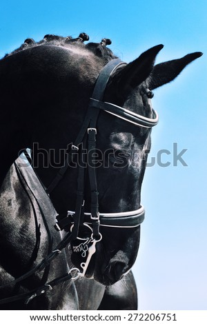 Close-up portrait of black dressage horse with braided mane