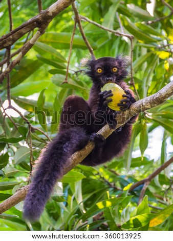 Close up portrait of black Lemur - eating mango on Lokobe Strict Nature Reserve in Nosy Be, Madagascar, Africa - stock photo