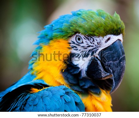 Close up portrait of blue and yellow macaw. - stock photo