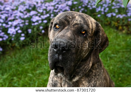 close-up portrait of Brazilian Mastiff or Fila Brasileiro at the park - stock photo