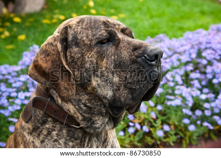 close-up portrait of Brazilian Mastiff or Fila Brasileiro dog at the park - stock photo