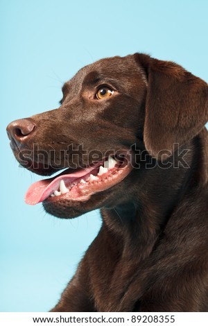 Close-up portrait of brown labrador retriever isolated on light blue background - stock photo