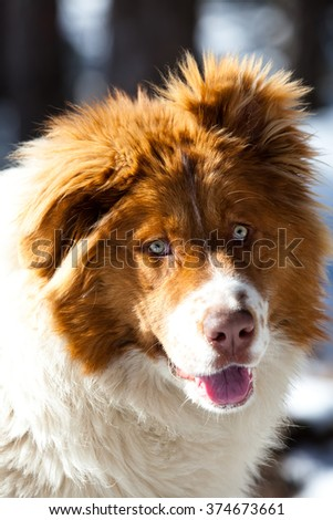 close-up portrait of bulgarian  dog with blue eyes in winter forest  - stock photo