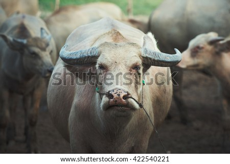 Close up portrait of cape buffalo head and eye - stock photo