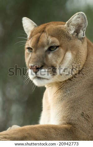 Close-up portrait of captive cougar / puma / mountain lion, selective focus on the cougar - stock photo