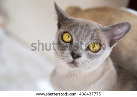 Close-up portrait of cat with grey fur - stock photo